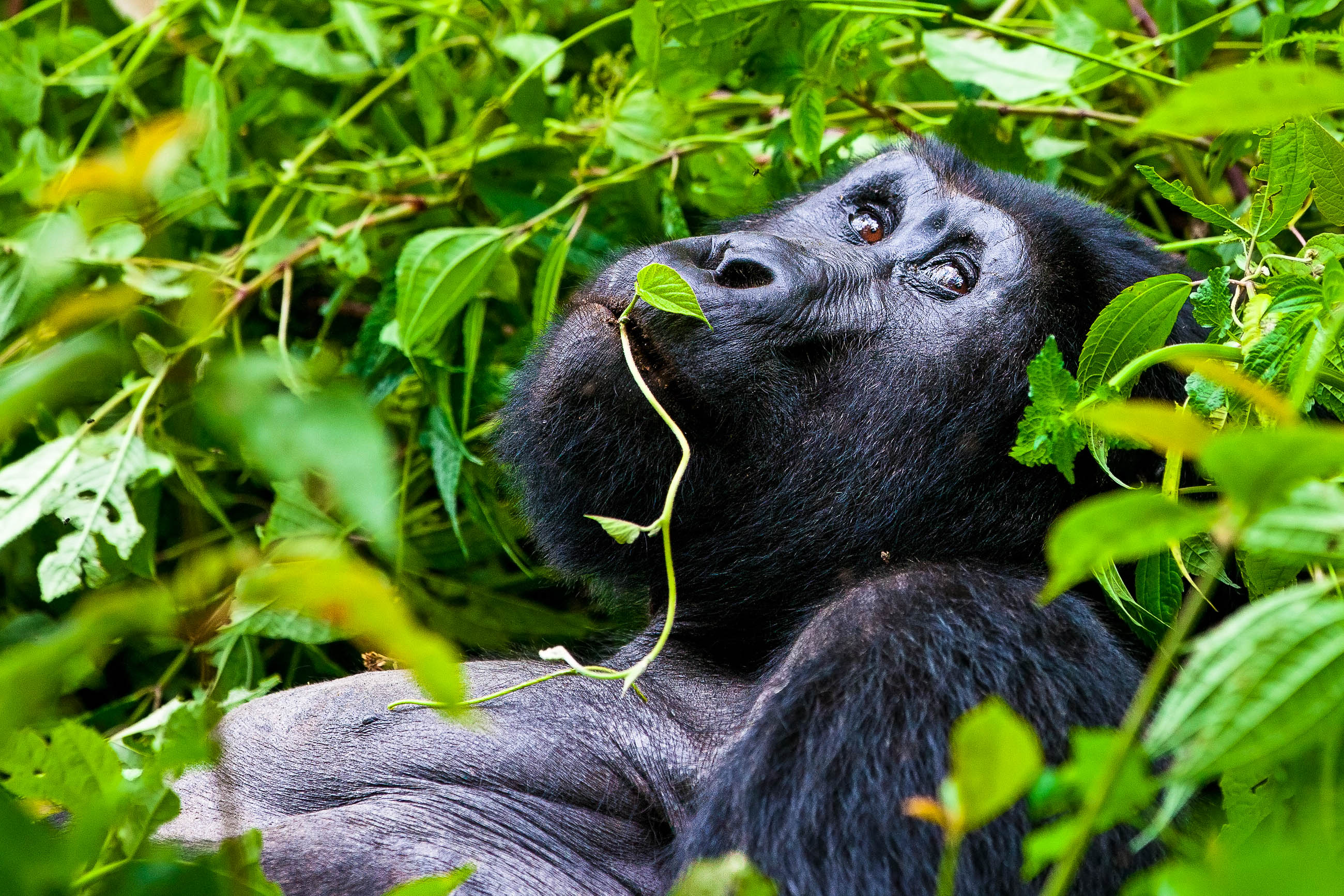 5 Days Gorilla tracking tour