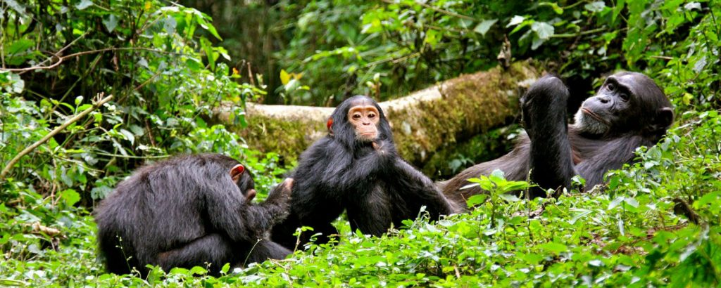 5 days Chimps and Murchison