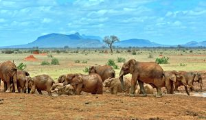 708-Elephants-Tsavo-East-National-Park-in-Kenya